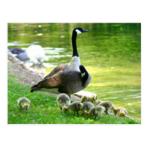 Canada goose family postcard