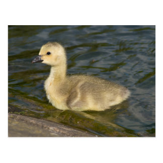 Canada Goose Gosling Postcard