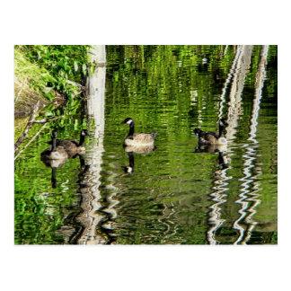 (Canada) Goose Green Postcard
