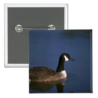Canada Goose, in still water Button