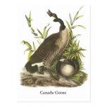 Canada Goose, John Audubon Post Cards