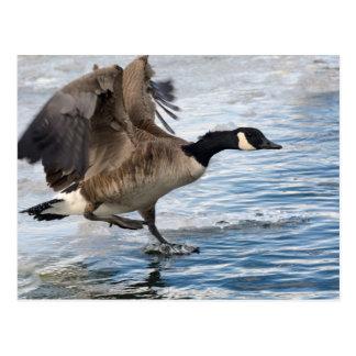 Canada goose Landing on winter lake Postcard