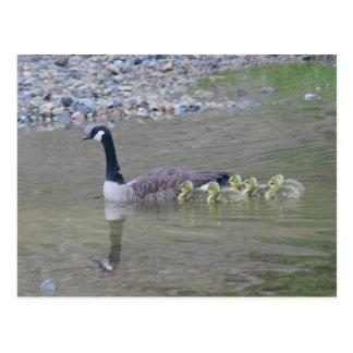 Canada Goose Mom Babies Nature Photo Postcard