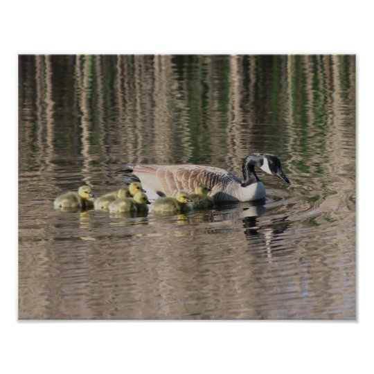 Canada Goose Mom Babies Wildlife Poster