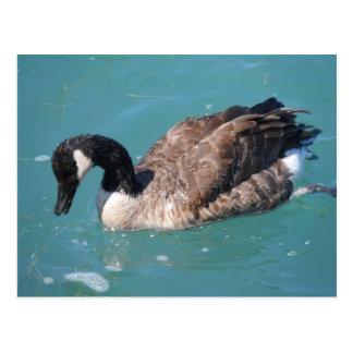Canada Goose coats online discounts - Goose Postcards | Zazzle
