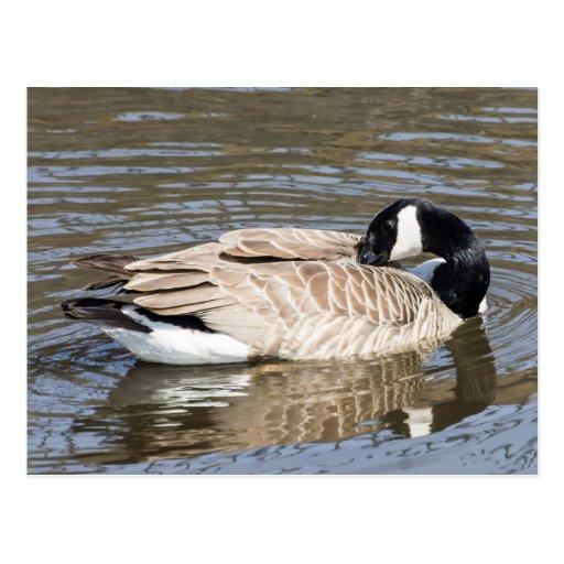 Canada Goose 2 GCards Postcards