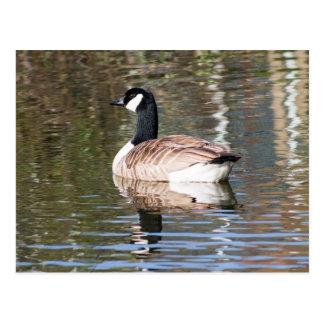 Canada Goose Postcard