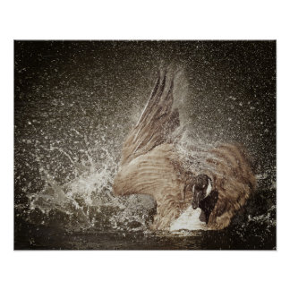 Canada Goose Slapping Water Photographic Art Poster