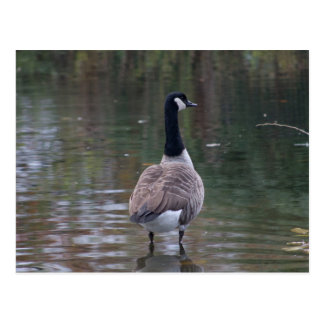 Canada Goose standing on shallow water Postcard