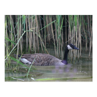 Canada Goose Wildlife Nature Photo Postcard