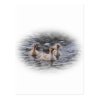 Canada Goslings Postcards