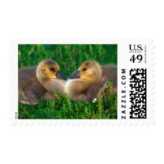 Canada Goslings that form a heart Stamp
