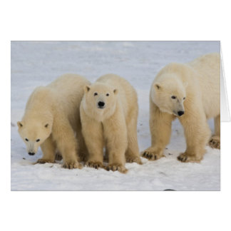 Canada, Hudson Bay. Polar bear mother with two Greeting Card