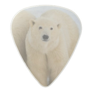 Canada, Hudson Bay. Polar bear mother with two Acetal Guitar Pick