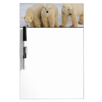 Canada, Hudson Bay. Polar bear mother with two Dry-Erase Board