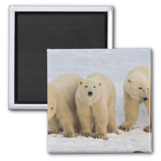 Canada, Hudson Bay. Polar bear mother with two 2 Inch Square Magnet