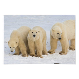 Canada, Hudson Bay. Polar bear mother with two Photo Print