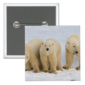 Canada, Hudson Bay. Polar bear mother with two Pinback Button