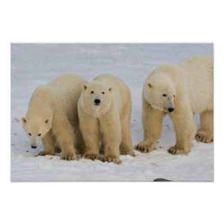 Canada, Hudson Bay. Polar bear mother with two Poster