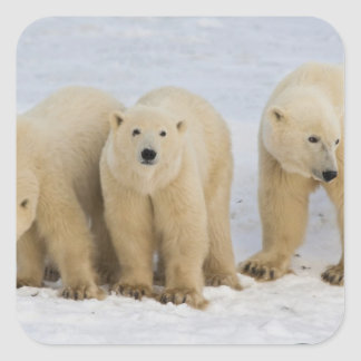Canada, Hudson Bay. Polar bear mother with two Square Sticker