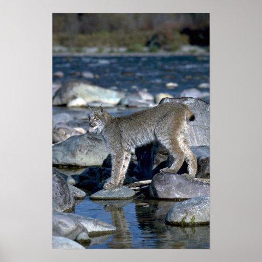 Canada lynx, autumn, along wilderness river poster
