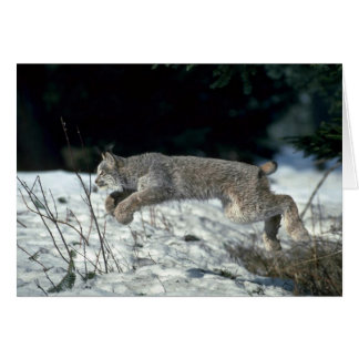 Canada lynx leaping, bounding on snow card