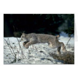 Canada lynx leaping, bounding on snow cards