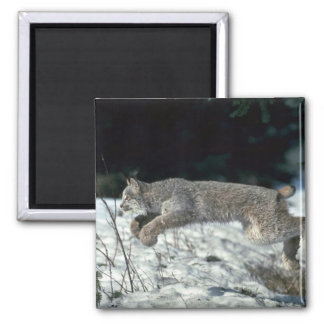 Canada lynx leaping, bounding on snow magnet