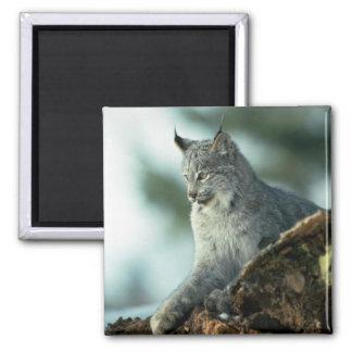 Canada lynx magnet