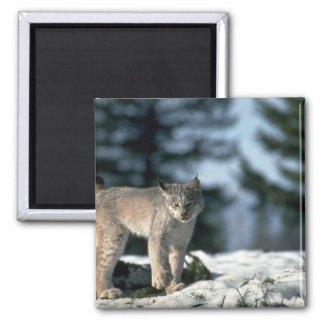 Canada lynx on snow refrigerator magnet