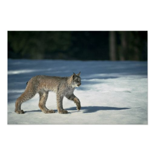 Canada lynx on snow poster