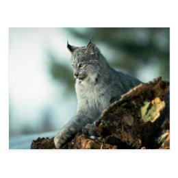 Canada lynx postcard