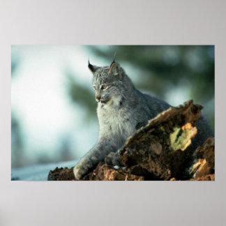 Canada lynx poster
