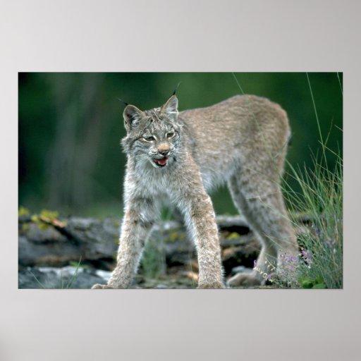 Canada lynx, summer adult print