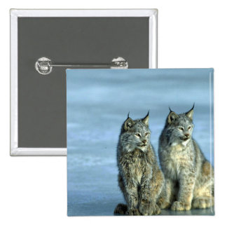 Canada lynx winter pair by icy stream buttons