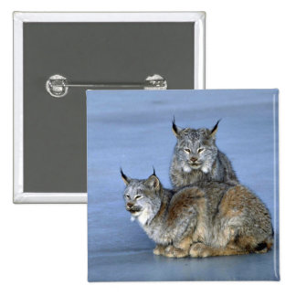 Canada lynx winter pair by icy stream button