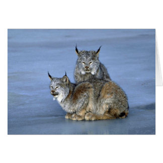 Canada lynx winter pair by icy stream cards