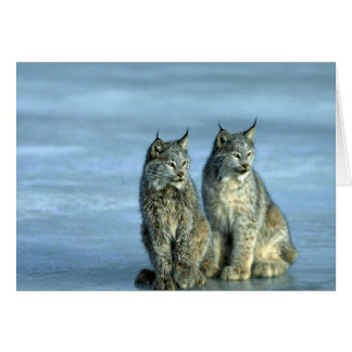 Canada lynx winter pair by icy stream greeting cards