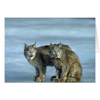 Canada lynx winter pair by icy stream card
