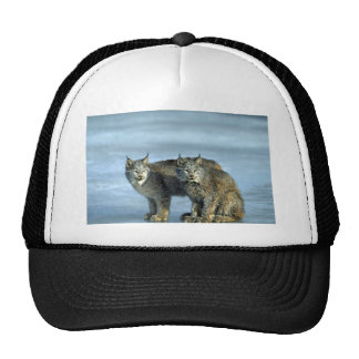 Canada lynx winter pair by icy stream hats
