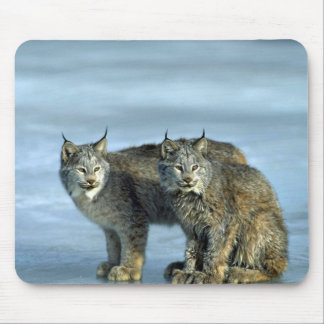 Canada lynx winter pair by icy stream mousepad