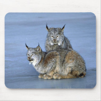 Canada lynx winter pair by icy stream mouse pads
