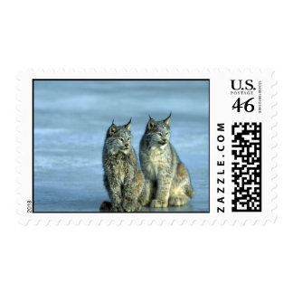 Canada lynx winter pair by icy stream postage stamp