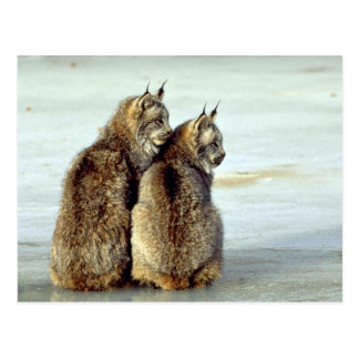 Canada lynx winter pair by icy stream post cards