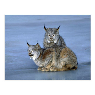 Canada lynx winter pair by icy stream post card
