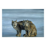Canada lynx, winter, pair by icy stream poster