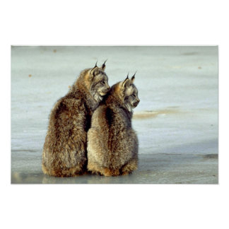 Canada lynx winter pair by icy stream poster