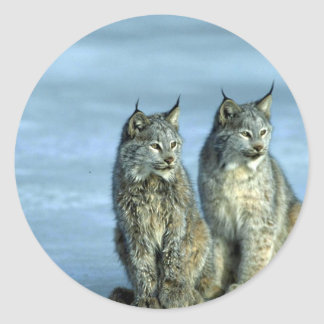 Canada lynx winter pair by icy stream stickers