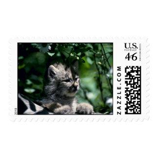 Canada Lynx-young kitten walking on log beside dai Postage