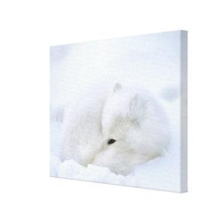 Canada, Manitoba, Churchill. Artic fox with Canvas Print